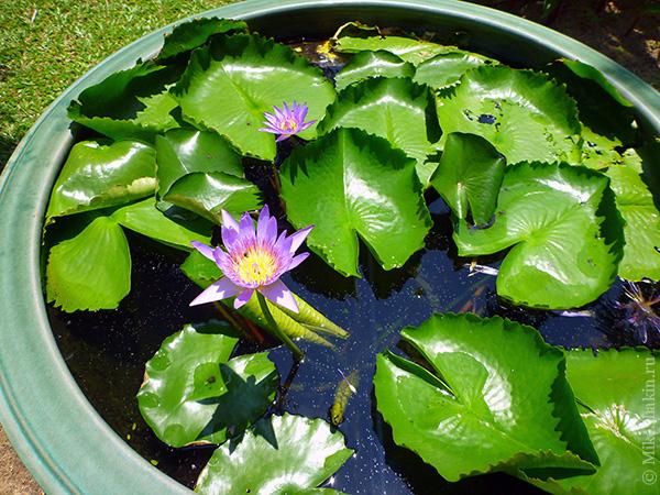 Цветущий лотос в воде